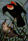 red-winged blackbird - North American blackbird with scarlet patches on the wings