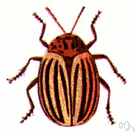 genus Leptinotarsa - Colorado potato beetles