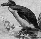 great auk - large flightless auk of rocky islands off northern Atlantic coasts