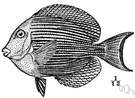 Acanthurus - type genus of the Acanthuridae: doctorfishes