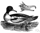 Mergus merganser - common merganser of Europe and North America