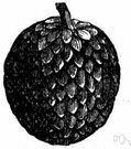Annona squamosa - tropical American tree bearing sweet pulpy fruit with thick scaly rind and shiny black seeds