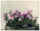 ground pink - low wiry-stemmed branching herb or southern California having fringed pink flowers