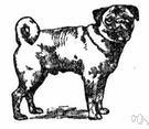pug - small compact smooth-coated breed of Asiatic origin having a tightly curled tail and broad flat wrinkled muzzle