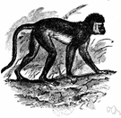 guenon monkey - small slender African monkey having long hind limbs and tail and long hair around the face