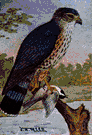 Falco columbarius - small falcon of Europe and America having dark plumage with black-barred tail