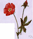 Malvastrum coccineum - false mallow of western United States having racemose red flowers