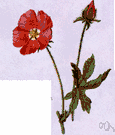red false mallow - false mallow of western United States having racemose red flowers