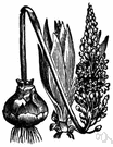 sea squill - having dense spikes of small white flowers and yielding a bulb with medicinal properties