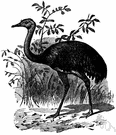 Rhea americana - larger of two tall fast-running flightless birds similar to ostriches but three-toed