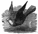European nightjar - Old World goatsucker