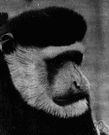 Old World monkey - of Africa or Arabia or Asia