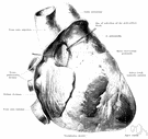 pericardium - a serous membrane with two layers that surrounds the heart