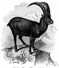 Capra ibex - wild goat of mountain areas of Eurasia and northern Africa having large recurved horns