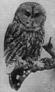 great grey owl - large dish-faced owl of northern North America and western Eurasia