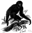 Hylobates syndactylus - large black gibbon of Sumatra having the 2nd and 3rd toes partially united by a web