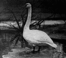 whooper - common Old World swan noted for its whooping call