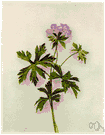 Geranium maculatum - common wild geranium of eastern North America with deeply parted leaves and rose-purple flowers