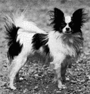 papillon - small slender toy spaniel with erect ears and a black-spotted brown to white coat