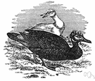 Cairina moschata - large crested wild duck of Central America and South America