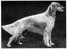 English setter - an English breed having a plumed tail and a soft silky coat that is chiefly white