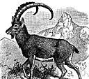 Bezoar goat - wild goat of Iran and adjacent regions
