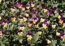 violet - any of numerous low-growing violas with small flowers